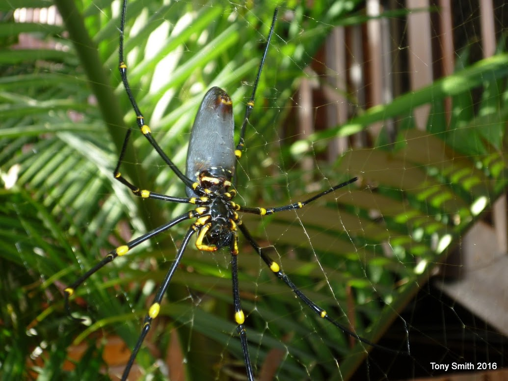 Golden_Orb_Spider_-_1.JPG